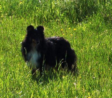 Les Shetland Sheepdog de l'affixe Du Boubou De L'isileko