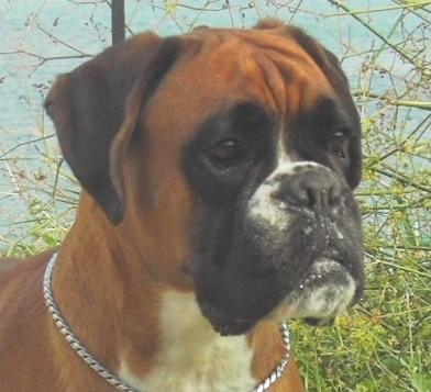 Des jardins de passiflore tanka chien de race toutes races for Boxer jardin de passiflore