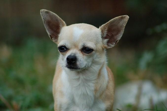 Les Chihuahua de l'affixe Born in rosebud