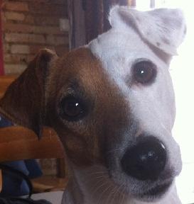 Les Jack Russell Terrier de l'affixe du Clos Noentine