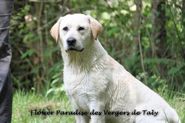 Les Labrador Retriever de l'affixe Jingle tinkle