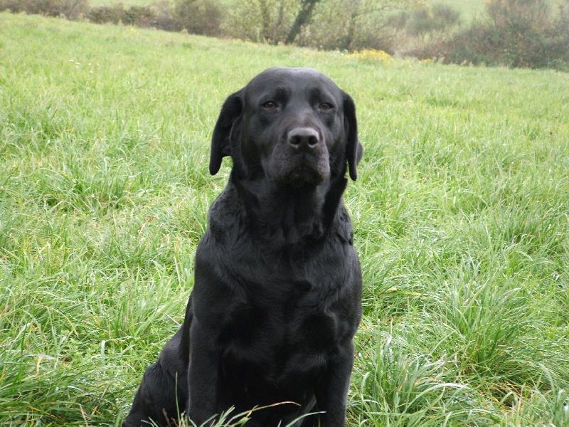 Les Labrador Retriever de l'affixe des pics luchonnais