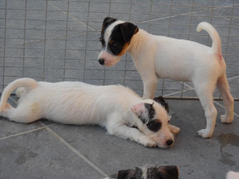 Parson Russell Terrier - Hamandine De la roche turpin