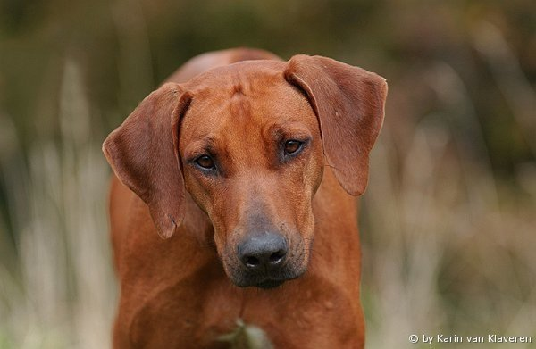 Rhodesian Ridgeback - maxwood Treasure