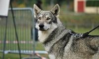 Greywolf-gévaudan de la compagnie du loup gris