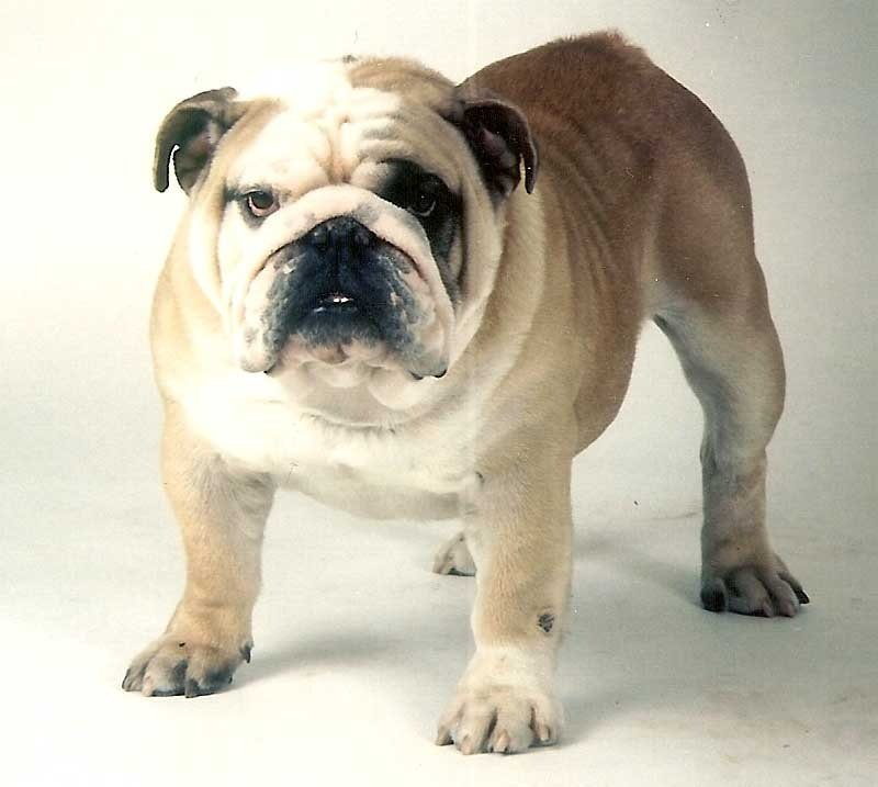 Les Bulldog Anglais de l'affixe De la queue du grill