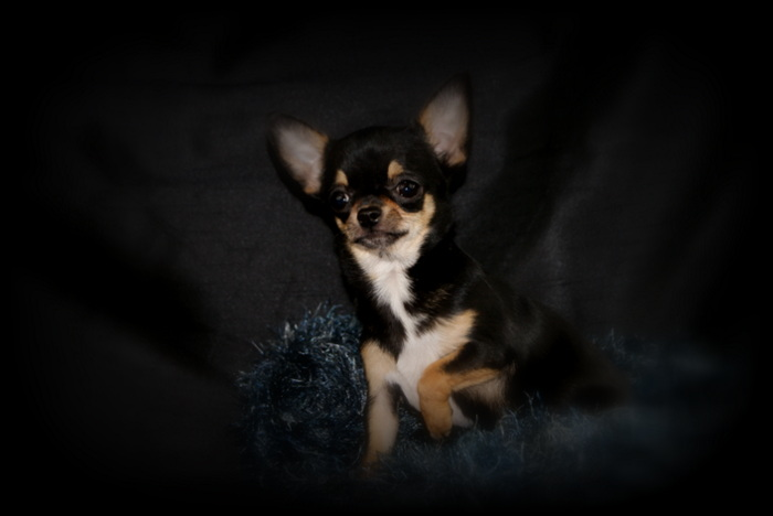 Les Chihuahua de l'affixe Du coeur des ténèbres