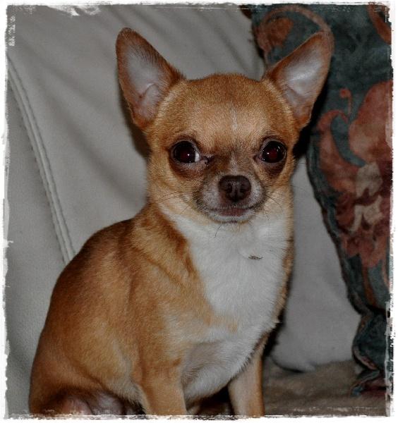 Les Chihuahua de l'affixe Des Petits Diablotins