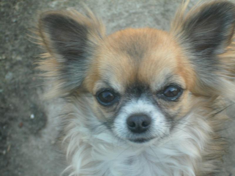 Les Chihuahua de l'affixe des amours de léos