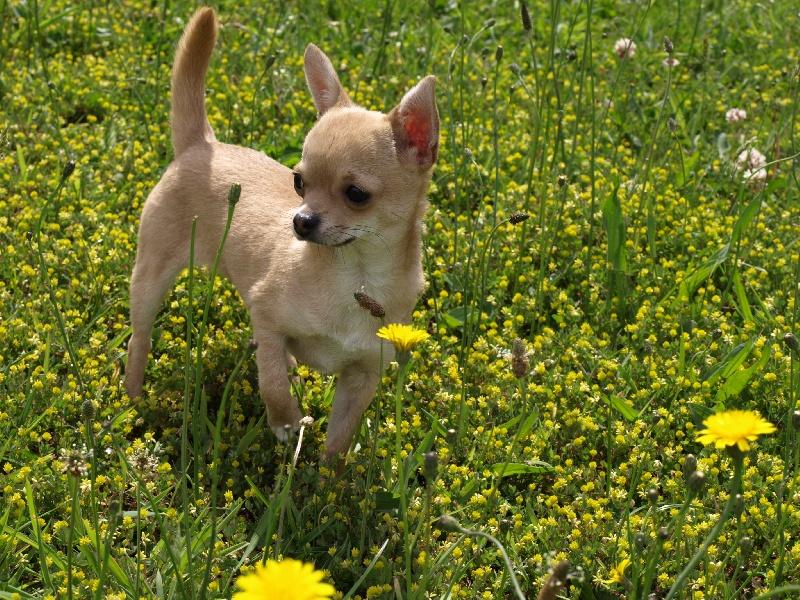 Les Chihuahua de l'affixe Du clos des flamboyants