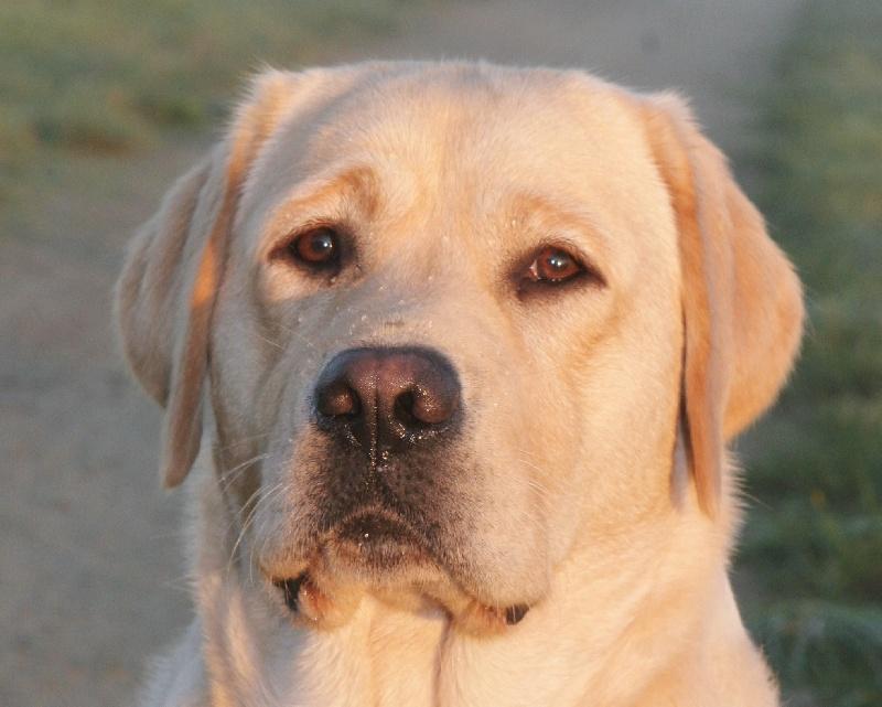 Les Labrador Retriever de l'affixe Du Cœur D'émeraude