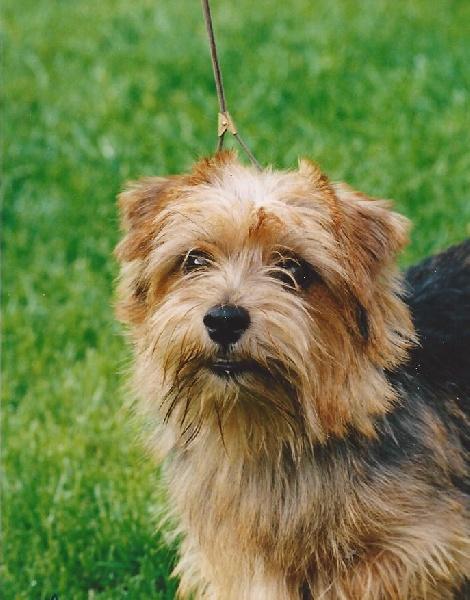 Le Standard de la race Norfolk Terrier sur Atara.com