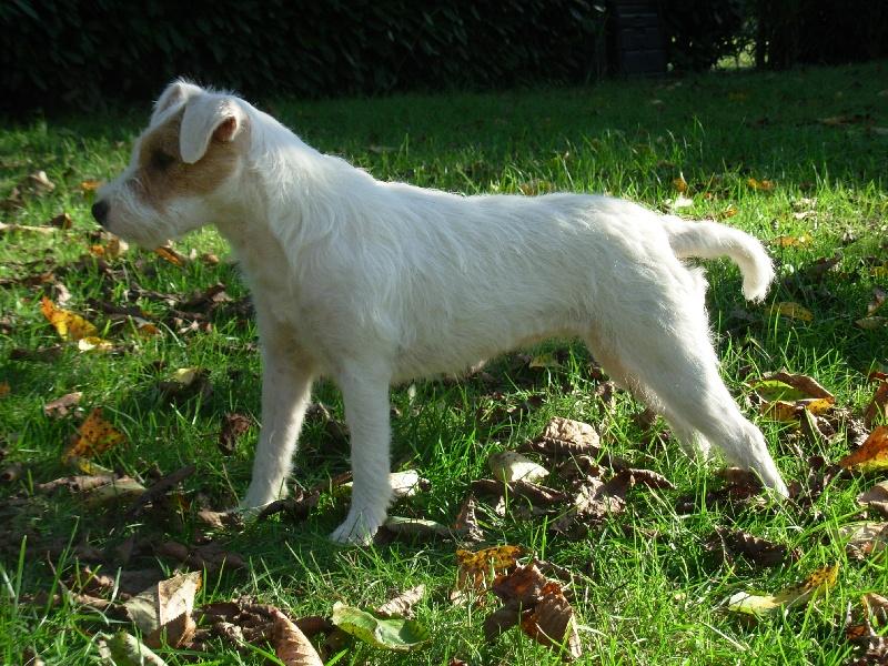 Les Parson Russell Terrier de l'affixe De la basse Dordogne