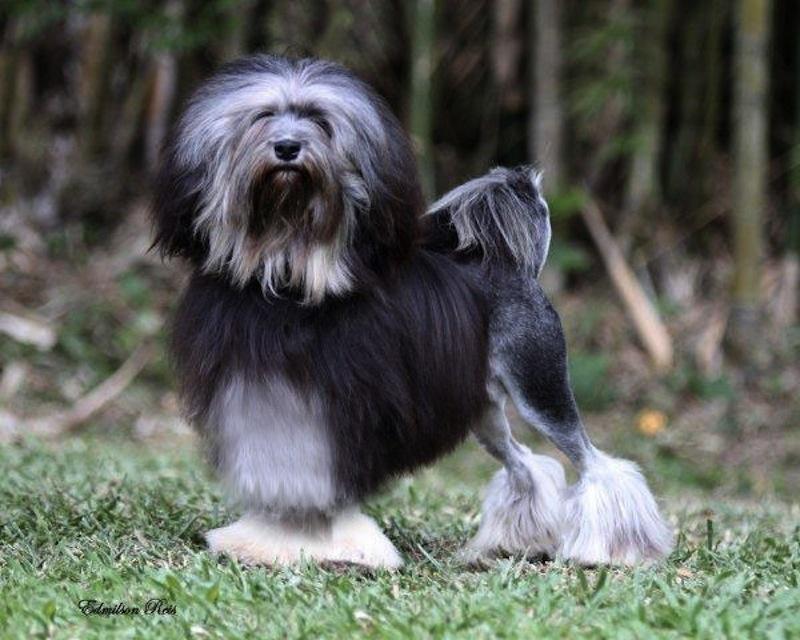 Le Standard de la race Petit chien lion sur Atara.com