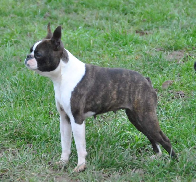 B Is For Boston Terrier Chien - Elevage du Mir...