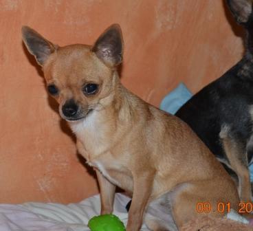 Les Chihuahua de l'affixe du domaine de Peyrazet