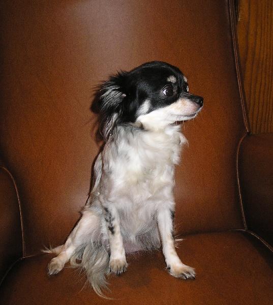 Les Chihuahua de l'affixe Du Baronnet Des Godins
