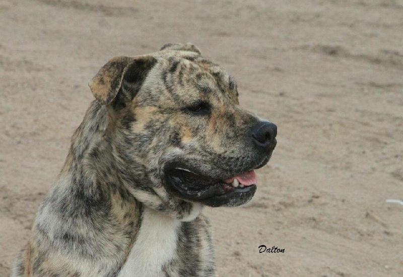 Les Dogue de Majorque de l'affixe Du Domaine D'amserpa
