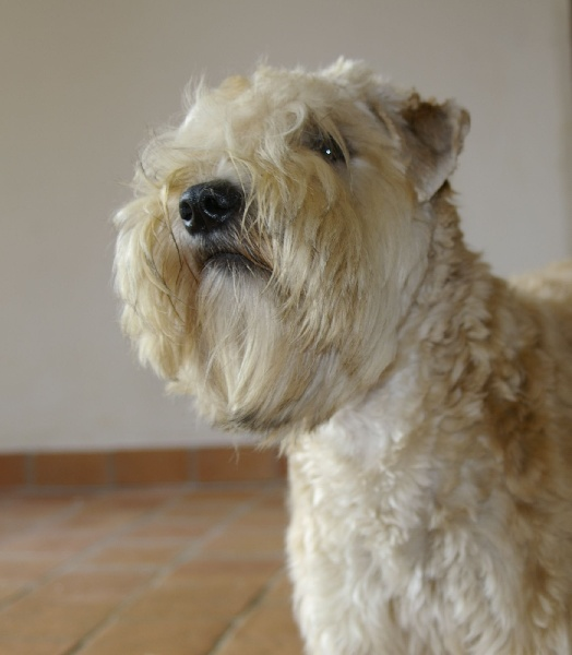 Le Standard de la race Irish Soft Coated Wheaten Terrier sur Atara.com