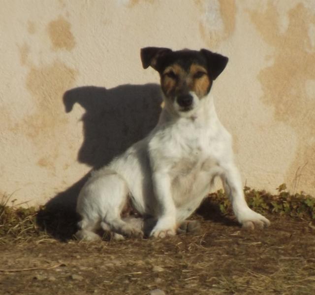 Les Jack Russell Terrier de l'affixe De La Plaine D'Orion