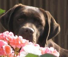 Les Labrador Retriever de l'affixe des Lords de Fanellie