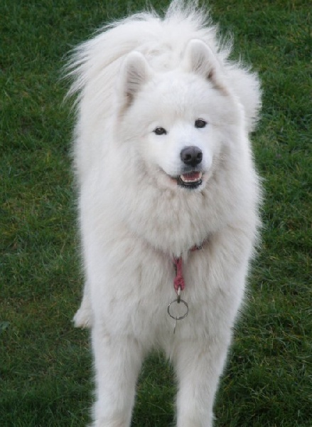 Chien - Elevage de l'Ile Blanche - eleveur de chiens Samoyède