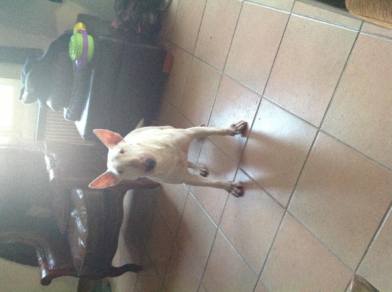 Les Bull Terrier de l'affixe de la gazo