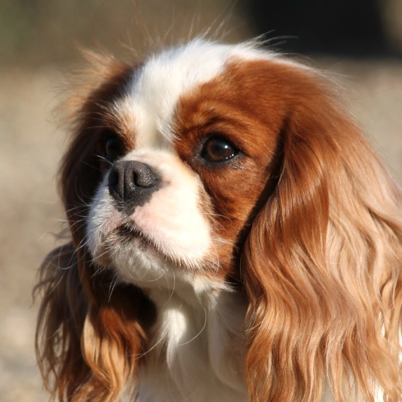 Cavalier King Charles Spaniel - Pictures, posters, news