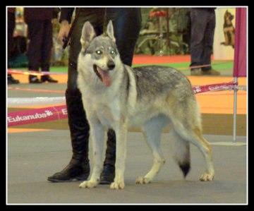 Les Chien-loup tchecoslovaque de l'affixe Van De Rib Of Wolf
