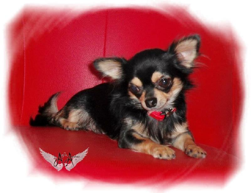 Les Chihuahua de l'affixe Des Anges De L'apocalypse