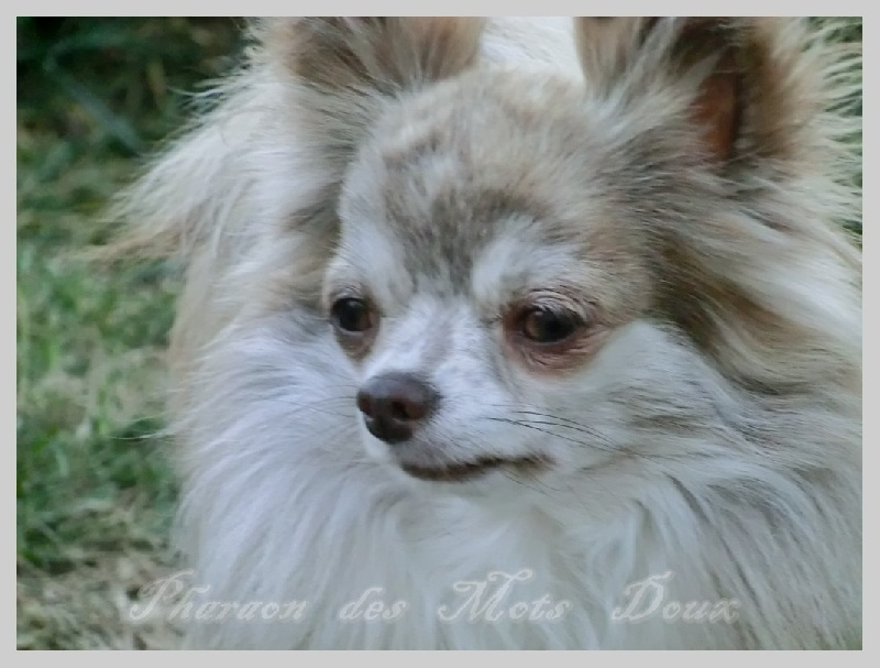 Les Chihuahua de l'affixe des Petits Mots Doux