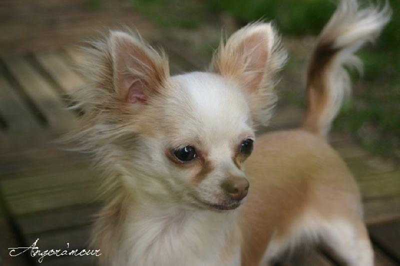 Les Chihuahua de l'affixe Du Domaine De Mazières