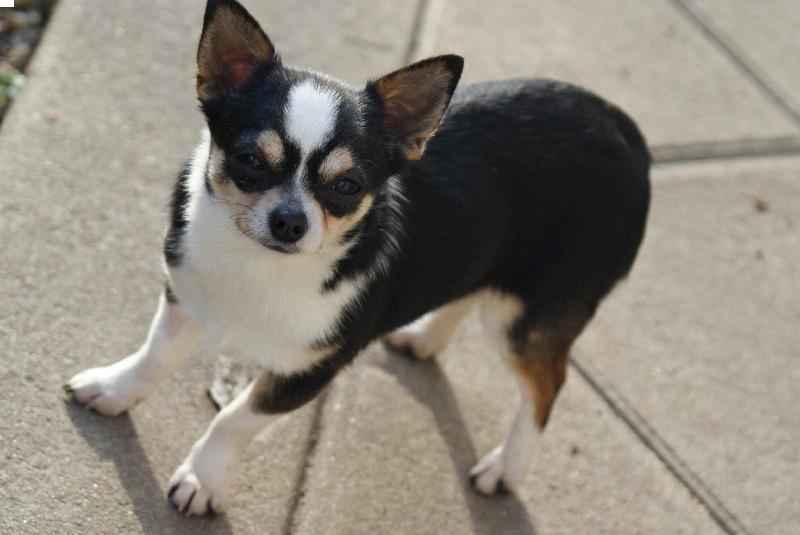 Les Chihuahua de l'affixe du Domaine de la Rêverie