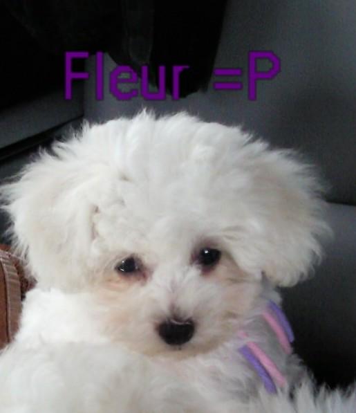 Bichon frise - Fleur de la Felhotte
