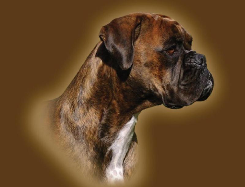 Boxer chien de defense - Dessin chien boxer ...