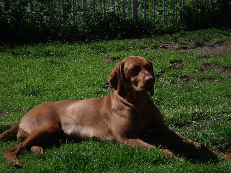 Chien elevage de l 39 abbaye sainte berthe eleveur de chiens braque hongrois poil court vizsla - Braque hongrois a poil court ...