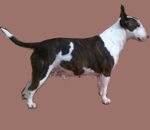 Les Bull Terrier Miniature de l'affixe des Roxa-Lina
