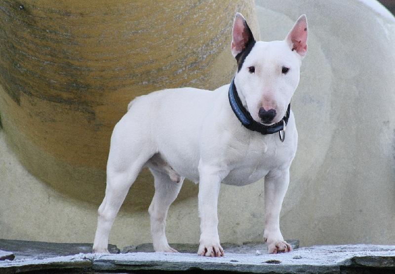 Bull Terrier Miniature - menusha's Uncas