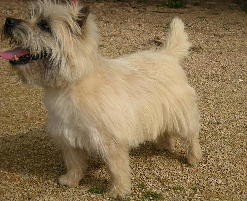 Les Cairn Terrier de l'affixe du Little Soannan