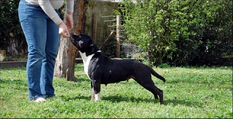 Les American Staffordshire Terrier de l'affixe Des Gardiens Du Rêve Eternel