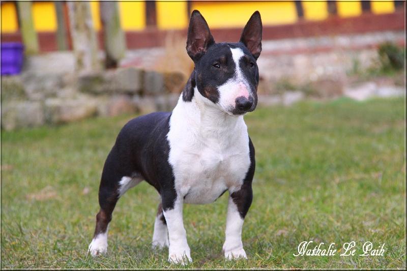 Bull Terrier Miniature - Dinharha dite ding-dong du Domaine d'Odin