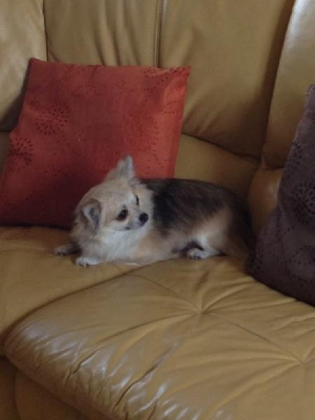 Les Chihuahua de l'affixe du manoir de la corbie