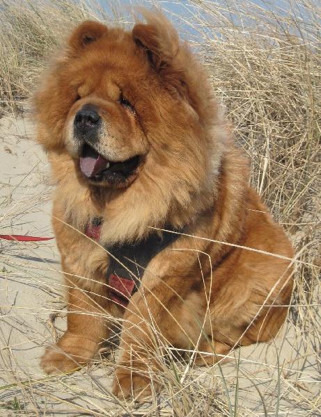 Bien-aimé Accueil - Elevage Des Pattes Impériales - eleveur de chiens Chow Chow AS92