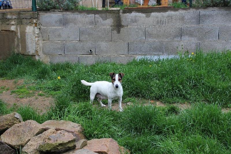 Les Jack Russell Terrier de l'affixe Du Giron