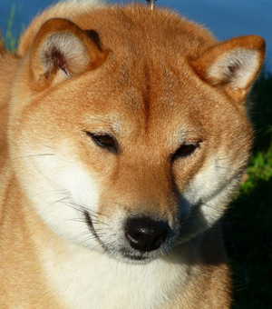 Les Shiba de l'affixe Go Kusanagi