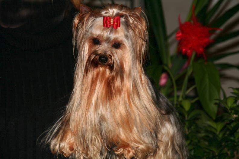 Les Yorkshire Terrier de l'affixe du fief Saint Theau