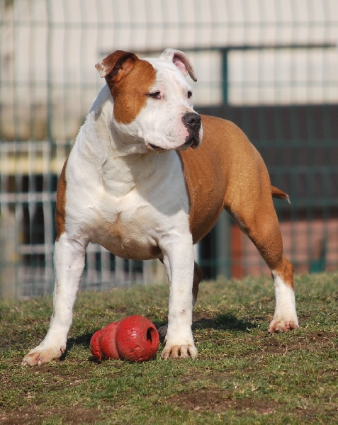 American Staffordshire Terrier - Aby power red De la crique du Flojule