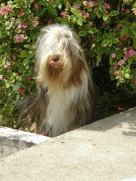 Les Bearded Collie de l'affixe Lords From Highlands
