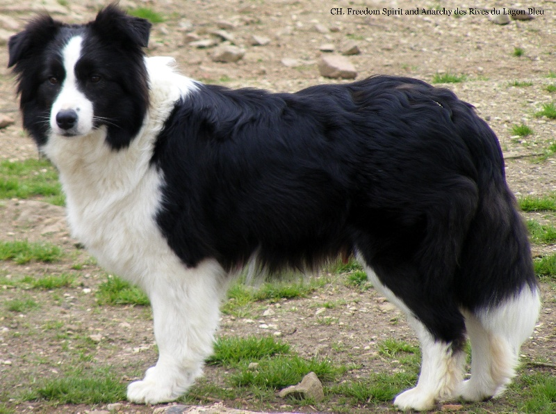 D B Farm Border Collies Chiens de France : Ach...