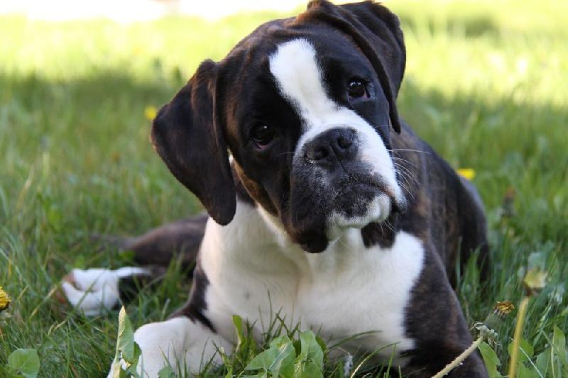 Chien - Elevage du câlin d'acier - eleveur de chiens Boxer